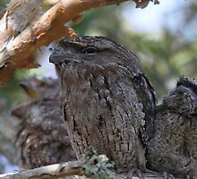 Frogmouth Family by byronbackyard