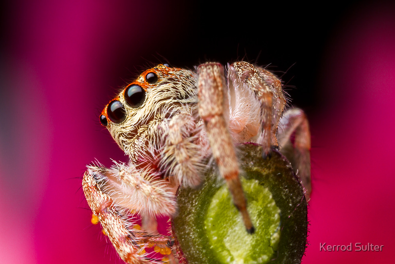 (Servaea vestita) Jumping Spider On Flower #3 by Kerrod Sulter