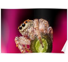(Servaea vestita) Jumping Spider On Flower #3 Poster