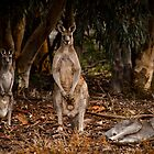 Australian Wildlife by Sophie Lapsley