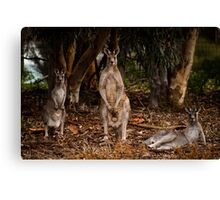 """Grey Kangaroos"" Canvas Print"