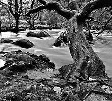 Twisted Tree At Golitha B/W by dalekenworthy