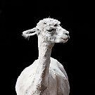 Snooty Alpaca. by Alex Preiss