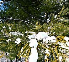 Snow Covered Pine by wjwphotography
