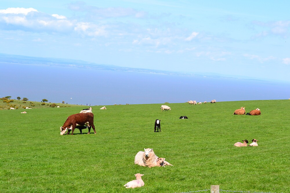 Cows, calves and sheep on the South West coast path by JWtennis