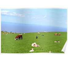 Cows, calves and sheep on the South West coast path Poster