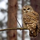 Barred Owl on a limb by Jim Cumming