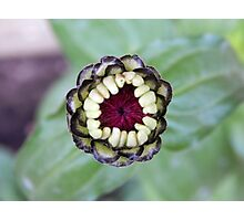 Flower Bud Photographic Print