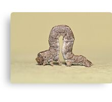 Inchworm Canvas Print