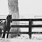 horse by the fence by beverlylefevre