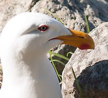 black back gull by Anne Scantlebury