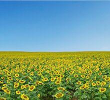 Sunflower Field by MelMon8