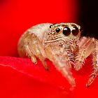 (Servaea vestita) Jumping Spider On Rose by Kerrod Sulter