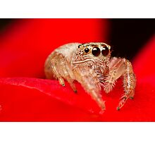 (Servaea vestita) Jumping Spider On Rose Photographic Print