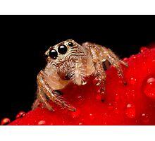 (Servaea vestita) Jumping Spider On Rose #2 Photographic Print