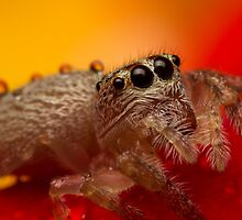 (Servaea vestita) Jumping Spider On Rose #3 by Kerrod Sulter