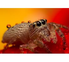 (Servaea vestita) Jumping Spider On Rose #3 Photographic Print
