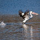 Pelican Taking Flight by Clive Roper