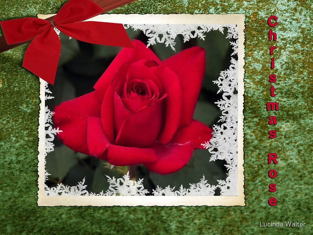 Christmas Rose by Lucinda Walter