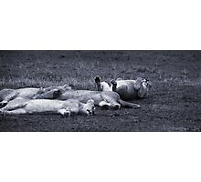 Lions Relaxing Photographic Print