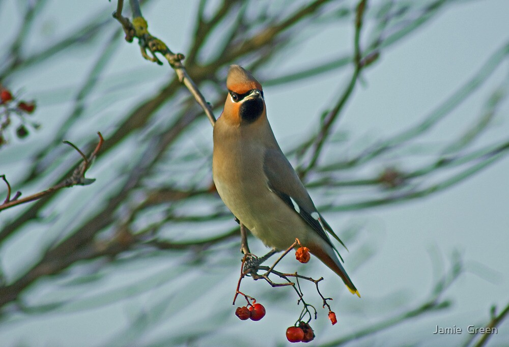 The Waxwing And The Berry #1 by Jamie  Green