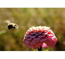 Pink flower and Bee Photographic Print