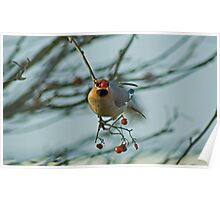 The Waxwing And The Berry #5 Poster