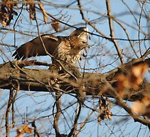 Redtail Hawk Hunting: Making the Kill by Thomas Mckibben
