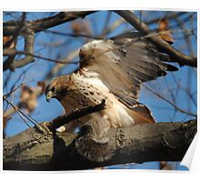 Redtail Hawk Hunting: After the Kill Poster