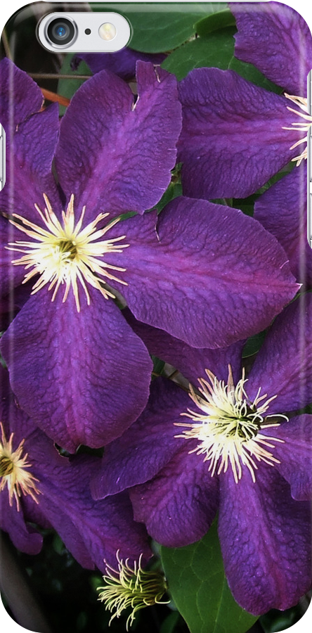 Purple Clematis by Colleen Drew