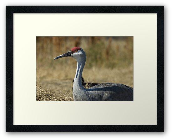 Sandhill Crane by pjwuebker