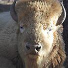 Golden Bison by Jazzy724