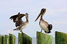 Pelicans Posing on Posts by AuntDot