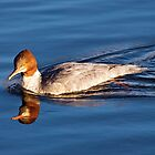 Goosander Duck by M.S. Photography/Art