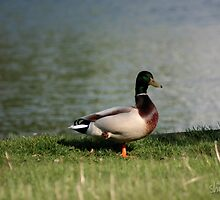 Cool Ducks stand on One Foot by shorekat