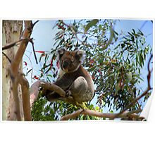 Koala at Cape Otway Poster