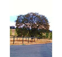 Old Oak Tree Photographic Print