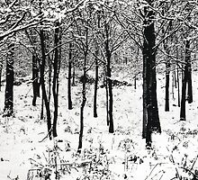 Young trees in snow by Steven Taylor