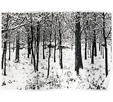 Young trees in snow Poster