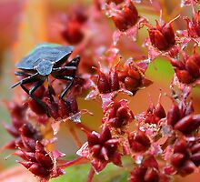 Shield bug by bundug