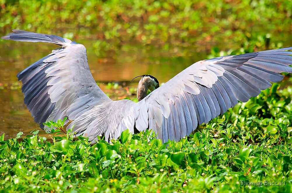Great Blue Heron Spreads His Wings by TJ Baccari Photography
