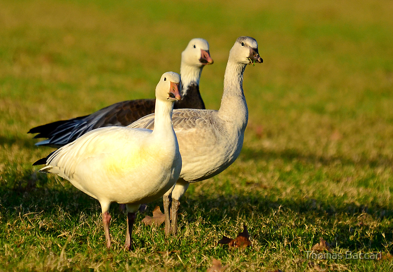 Snow Geese, (Don't come any closer I'll Fly Away by imagetj