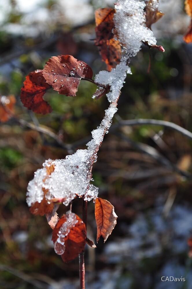 Snow On Leaves by CADavis