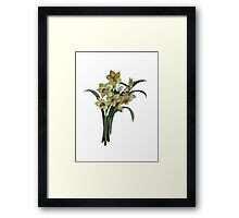 Lent Lily Isolated Framed Print