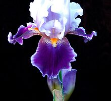 Bearded Iris by wolftinz