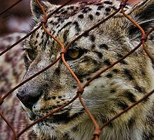 Snow Leopard by Culrick99