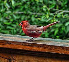 Red Hot Cardinal by Culrick99
