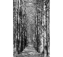 Pine Plantation Photographic Print