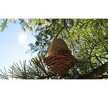 Pine Cone Fresh Photographic Print