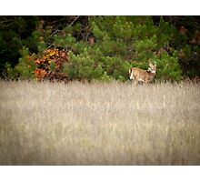 Young Buck 3 Photographic Print